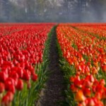tulip_field_194597_72